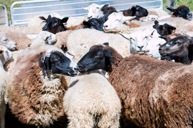Could Greenpeace Step Up for the Future of Wool?